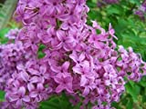 Schmetterlingsflieder buddleja davidii 50 Samen frosthart bis - 25 Grad