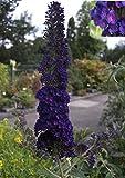 Buddleja davidii Black Knight - Schmetterlingsstrauch -