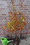 25st. Rotbuchen 80-120cm Gartenhecke Heckenpflanzen Fagus sylvatica Rotbuche Wurzelware