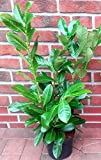 10 Stück Prunus laurocerasus 'Rotundifolia' (Höhe: 60-70 cm / Topfvolumen: 3 Liter), Hecke, immergrün