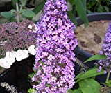 Schmetterlingsstrauch Peakeep - Buddleja davidii Peakeap - Sommerflieder (60-80)