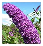Buddleja davidii - Schmetterlingsflieder - Sommerflieder - 10 Samen
