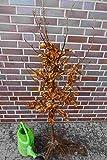 50st. Rotbuchen 40-60cm Gartenhecke Heckenpflanzen Fagus sylvatica Rotbuche Wurzelware