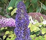 Buddleja davidii Adonis Blue - Schmetterlingsstrauch - 60-80 cm