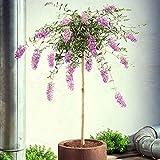 Buddleja davidii'Lavender Flow' | Lila Schmetterlingsflieder Winterhart | Blühender Zierstrauch | Höhe 50 cm | Topf-Ø 19 cm