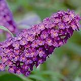 Kölle's Beste! Zwerg-Schmetterlingsstrauch, Buddleja davidii Buzz™ 'Pink Purple'(s), Rotviolett, Topf