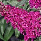Kölle's Beste! Zwerg-Schmetterlingsstrauch, Buddleja davidii Buzz™ 'Hot Raspberry'(s), Topf 5 l