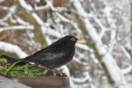 Amseln-im-Winter