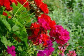 Bewaesserung-von-Balkonpflanzen
